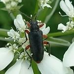 bozontos cserjecincér - Cortodera villosa