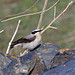 Northern Wheatear (9)