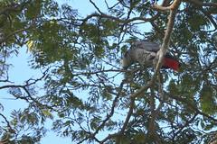 Entebbe, Uganda - Entebbe Botanical Gardens - African Grey Parrot