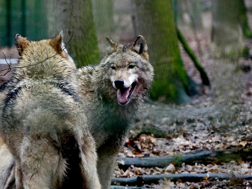Tag des Wolfes 2017