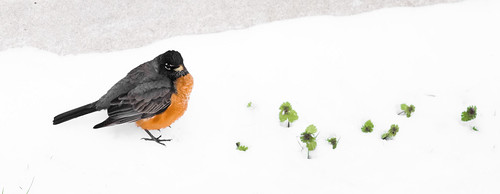 American Robin in the snow | by SammyIsra