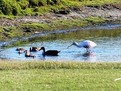 Biltmore waterfowl at first tee912