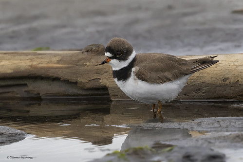 Semipalmated Plover | Pluvier semipalmé