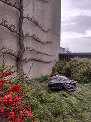 Chaenomeles x superba 'Mandarin' flowering quince and espaliered Ginkgo biloba tree