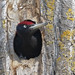 Black Woodpecker (Kevin Elsby)