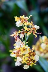ny botanical garden orchid show-6