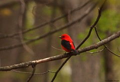 Tanager in the bush