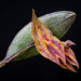 Small photo of Lepanthes marthae