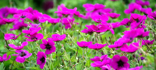 Geraniums Can Add a Splash of Colour to Any Garden!