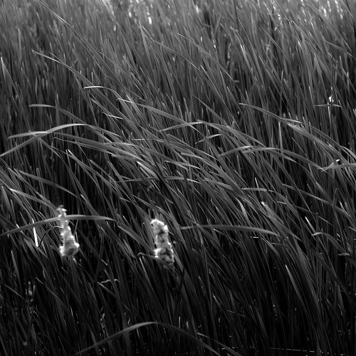 d5000 nikon prairiewolfsloughforestpreserve blackwhite blackandwhite bw grass landscape leaves marshland monochrome noahbw prairie spring square wetlands