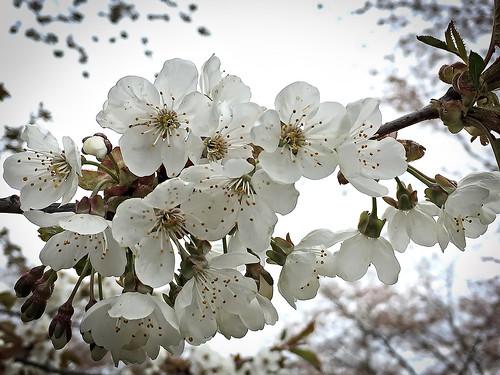 håkan jylhä iphone white flower vit blomma sweden sverige