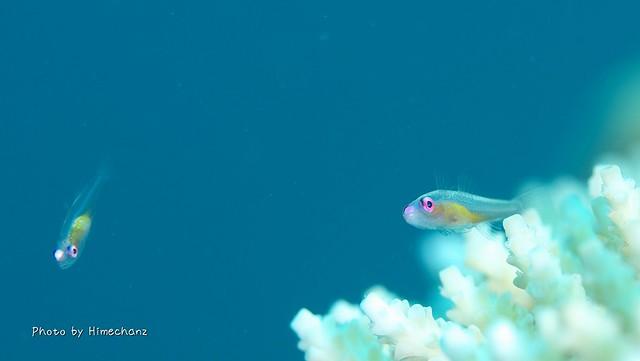 アカメハゼ 成魚
