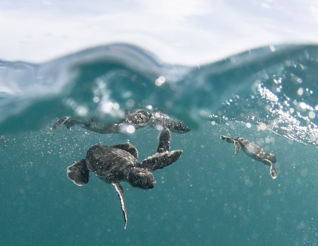 photo of baby sea turtles