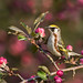 Chestnut-sided Warbler in Crabapple by Bill McMullen