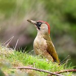 Green Woodpecker 6442(550D)