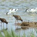 Small photo of Redshanks and Avocets