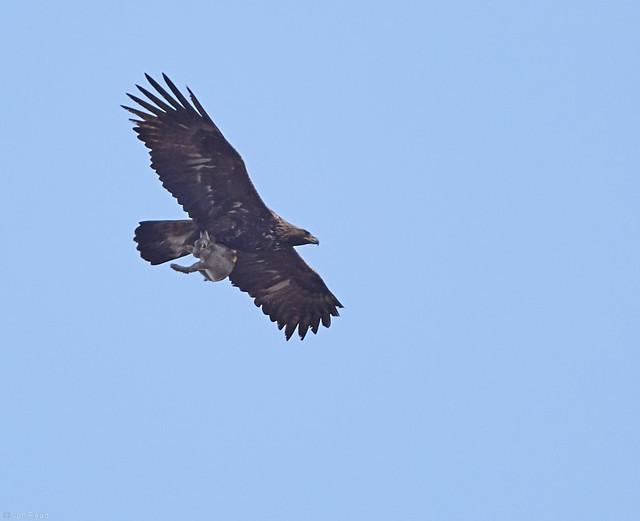 Golden eagle with prey, Canon EOS 6D, EF400mm f/5.6L USM