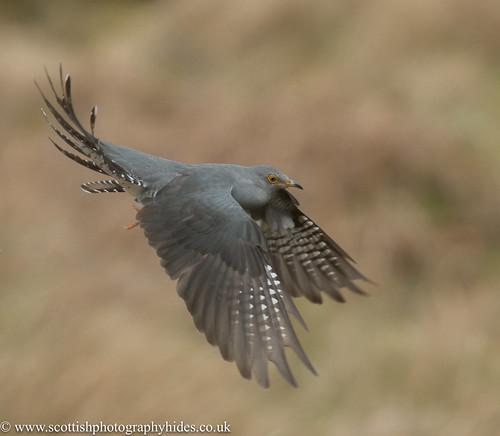 24th April 2017 Cuckoo