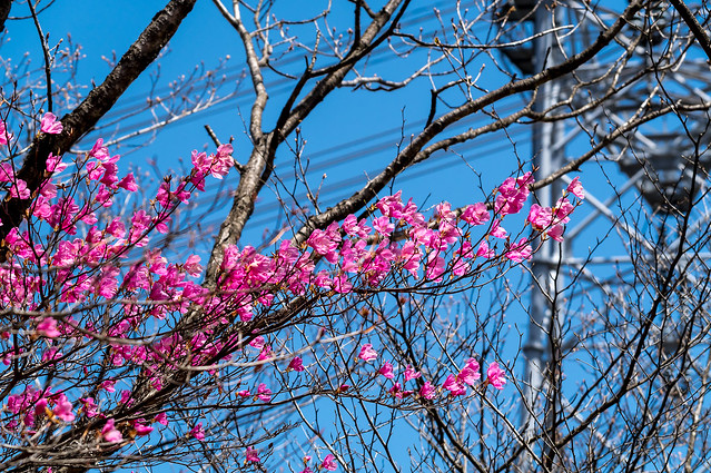 51号鉄塔付近に咲くアカヤシオツツジ