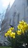 Baptist Daffodils