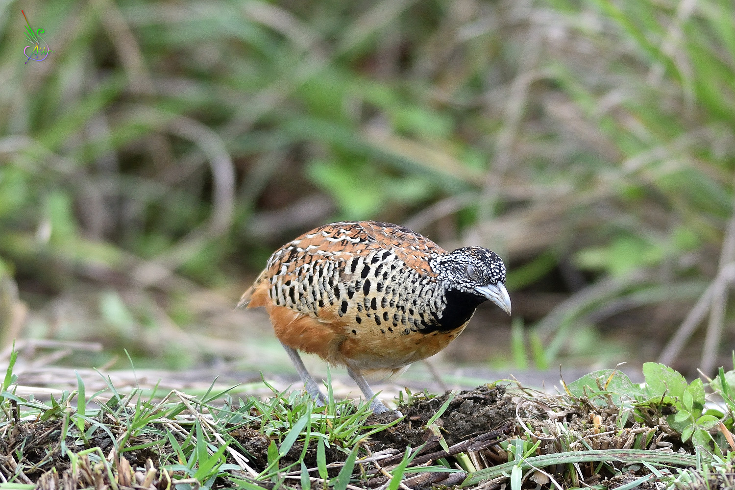 Barred_Buttonquail_2521