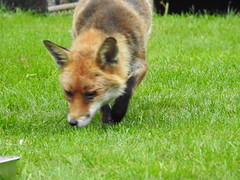 3rd  may 2017 Foxes 008