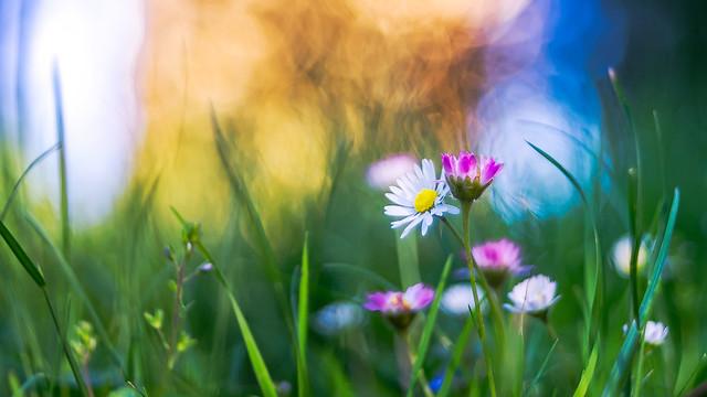 Sunset daisies...