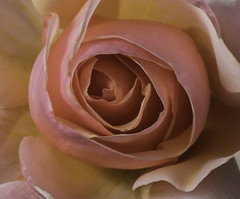 The Center Of A Pink Rose