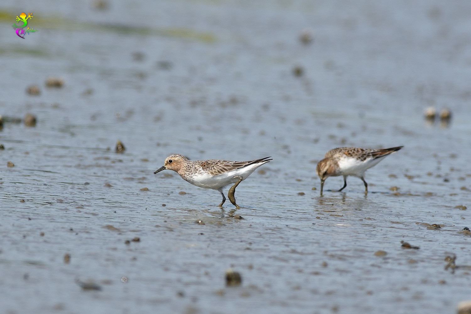 Red-necked_Stint_5394