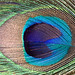 peacock 'eye' by sure2talk
