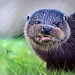 otter by irishishka