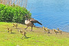 Canada Goose And Goslings 17-0514-2678 by digitalmarbles