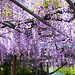 Wisteria Trellis by moaan