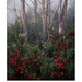 Cyathode Berries & Snow Gums, Mt. Wellington Tasmania. by d800e