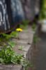 Floare de oraș