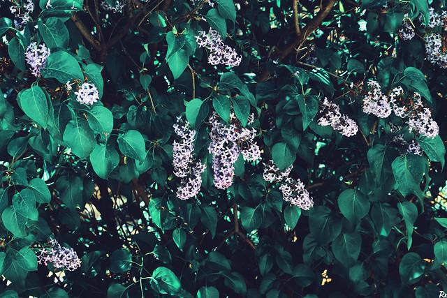 Lilac @springtimebouquet