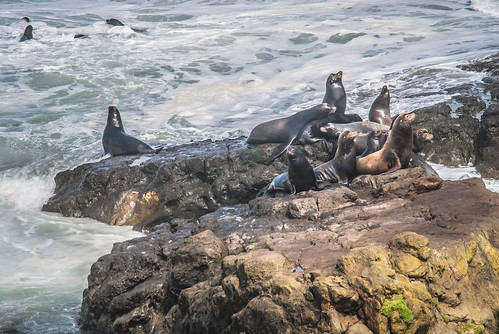 Sea Lions In the Surf