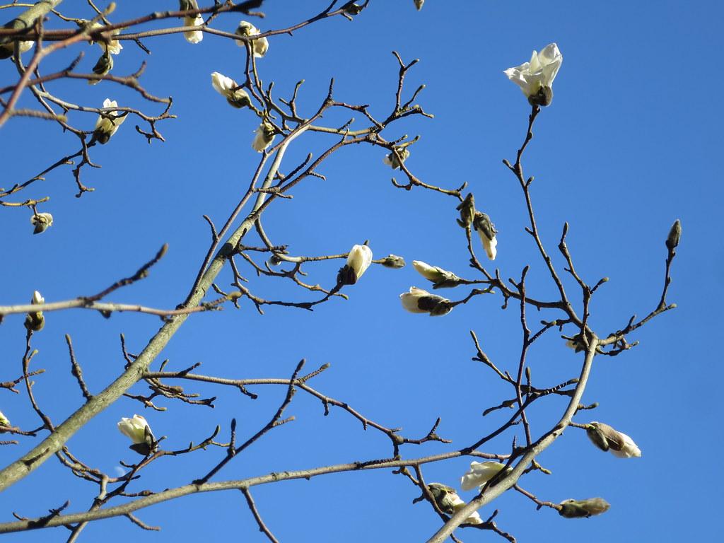 Pajumagnolia, Magnolia salicifolia