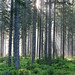 Small photo of Forest III