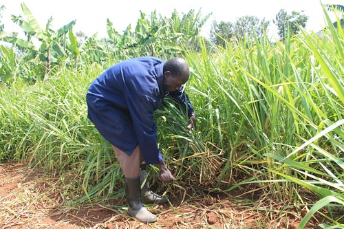 VBDA Stephen Nyamisi harvesting brachiaria (basilisk variety) from his quarter acre plot during February 2017 to feed his cow. The improved fodder survived the pro-longed dry season.
