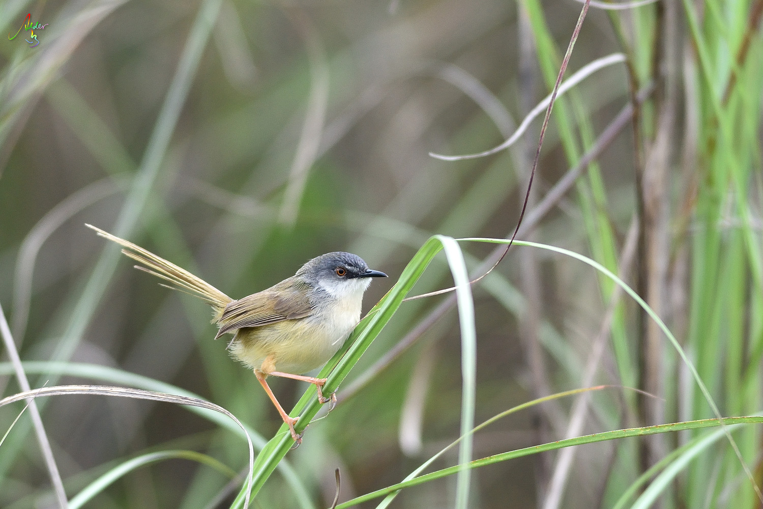 Yellow-bellied_Prinia_3633