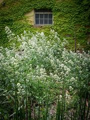 Centranthus ruber 'Albus', Equisetum hyemale var. 'hyemale'