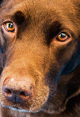 Dog appealing eyes