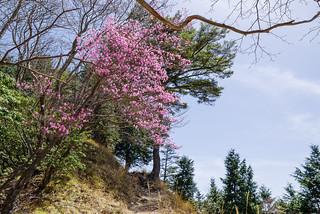 川苔山への稜線に咲くアカヤシオ1
