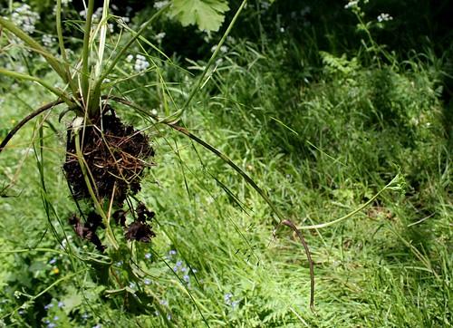 Ranunculus repens - renoncule rampante 34174185991_3c486eddc2