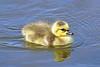 Canada Goose Gosling 17-0430-4029 by digitalmarbles