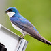 Tree Swallow by tonyclementsphotography