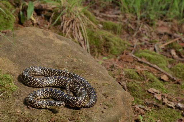 Speckled Kingsnake - Lampropeltis getula holbrooki