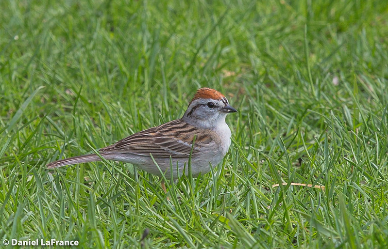 Chipping Sparrow (DOL-A-5892)