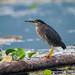 Green Heron on a log (Ian Talboys)